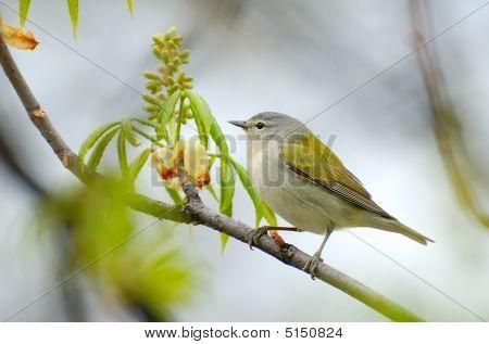 Tennesse Warbler (vermivora Peregrina) On Branch