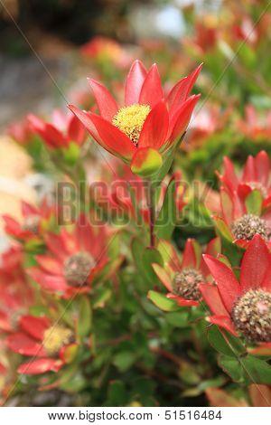 Leucadendron Shrub Flowering In The Garden