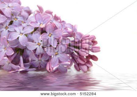 Flores lilas y reflexión sobre blanco