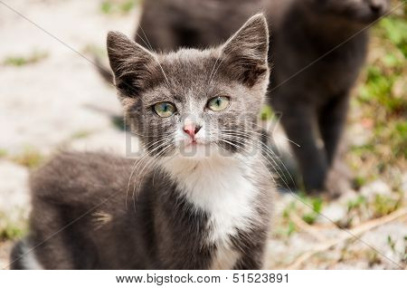 Small White-grey Homeless Cat With Pink Nose