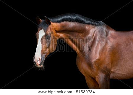 Horse portrait isolated on black, Holstein bay horse.