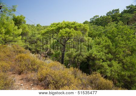 View of the tops of the trees in the forest. Rhodes. Greece