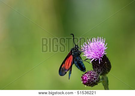 The New Forest Burnet (Zygaena Viciae)