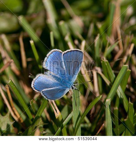 Common Blue (Polyommatus Icarus), Male