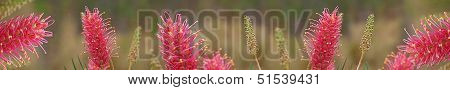 Australian Wildflower Grevillea Smartphone Banner