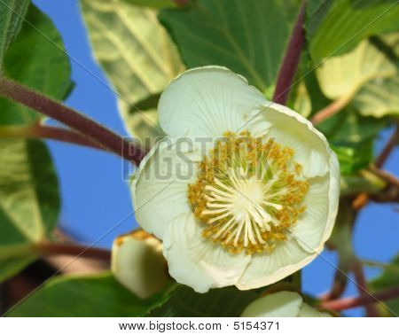 Kiwifruit Female Flower
