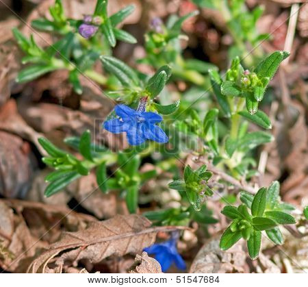 Macro Of A Blue Lithodora Flower - Indian Paint Plant