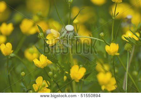 Dandelion among cowslip marsh