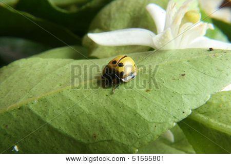 Yellow Ladybug on a Leaf