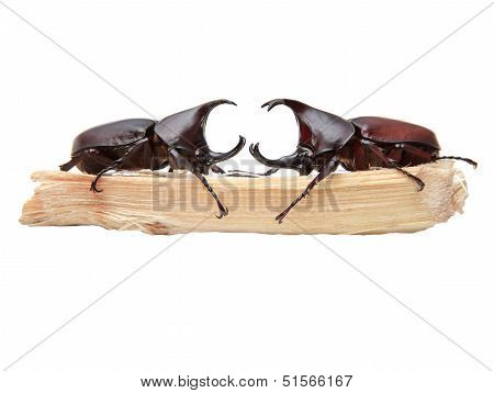 Two Of Rhinoceros Beetle, Rhino Beetle, Hercules Beetle, Unicorn Beetle, Horn Beetle On Sugar Crane