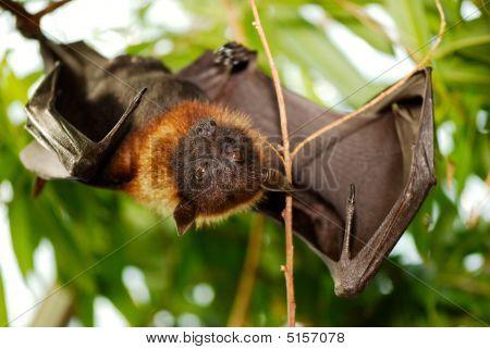Portrait Lyle's Flying Fox (pteropus Lylei)