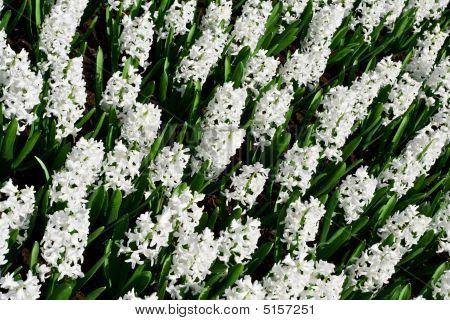 White Hyacint Aiolos