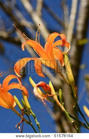 Tiger lily(Daylily) flower