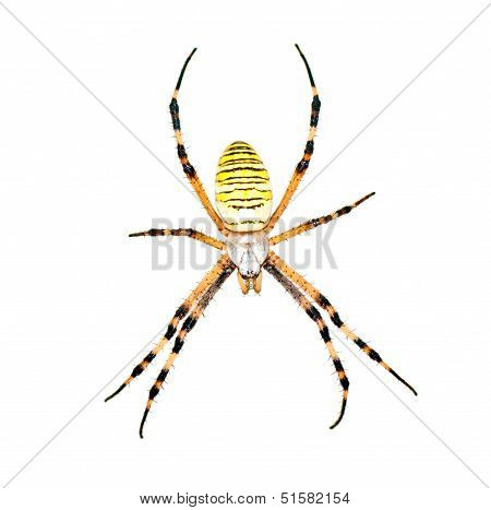 Spider (argiope Bruennichi) Isolated On  White
