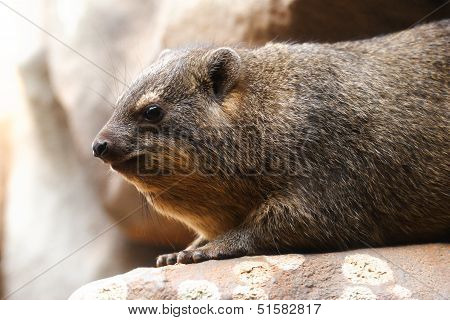 Adult Rock Hyrax