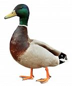 stock photo of duck-hunting  - Mallard Duck with clipping path - JPG