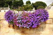 image of lobelia  - Hanging basket with beautiful violet lobelia flowers - JPG