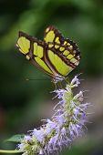 Постер, плакат: Butterfly Philaethria dido