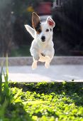 picture of jack russell terrier  - Jumping jack russell terrier for thrown ball aport - JPG