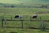 stock photo of charolais  - Green pasture with fences and colorful cattle - JPG