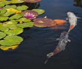 stock photo of fish pond  - A koi fish pond with lily pads and flowers floating on the water - JPG
