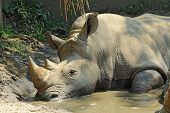 White Rhinoceros In A Wallow At The Indianapolis Zoo