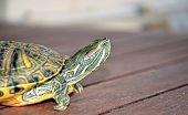 stock photo of terrapin turtle  - freshwater turtle walking and looking their environment - JPG
