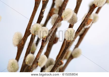 Beautiful pussy-willow twigs, close up