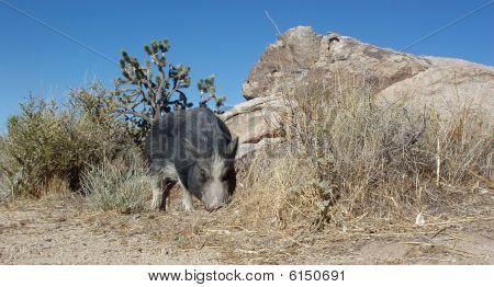 Pot Bellied Pig Sniffing Around The Weeds In The Nevada Desert