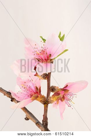 Peach Blossoms - Vertical