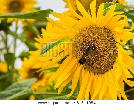 Sunflower Bumble Bee