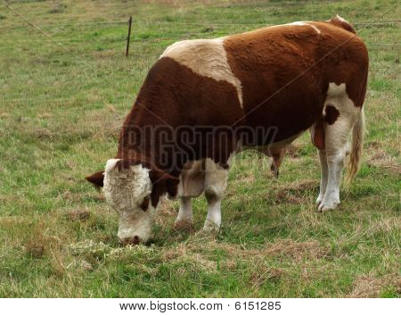 Simmental Bull Australian Beef Cattle Breed