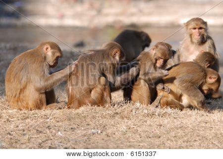 Monkey Scratch