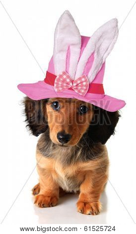 Longhair dachshund puppy wearing an Easter bunny hat.