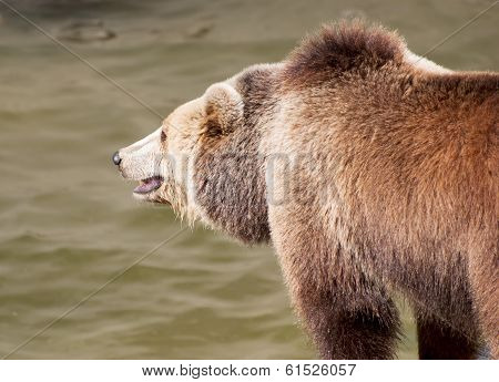 Brown Bear Catches Fish