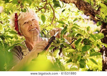 Senior Woman Pruning Tree In Garden