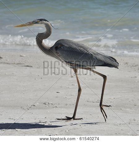 Great Blue Heron Walking On Florida Beach