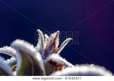 Frosted Bud On Blue Background