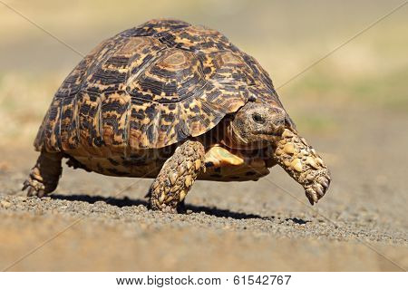 Leopard or mountain tortoise (Stigmochelys pardalis) walking, South Africa