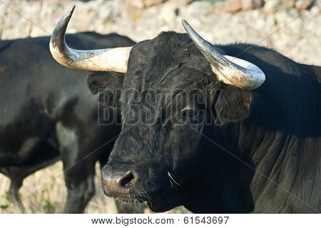 Young Fighting Bull. Breeding