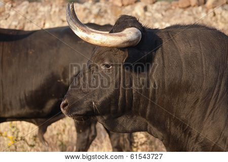 Profile Of Young Fighting Bull. Breeding