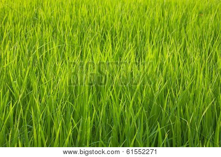 Organic Rice Field With Dew Drops