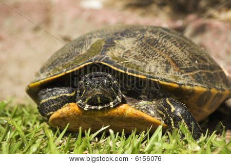River Turtle File One