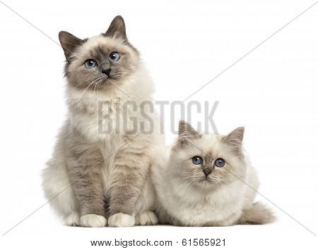 Birman cats looking at the camera, isolated on white