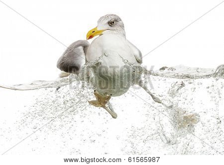 European Herring Gull floating in troubled waters, Larus argentatus, isolated on white