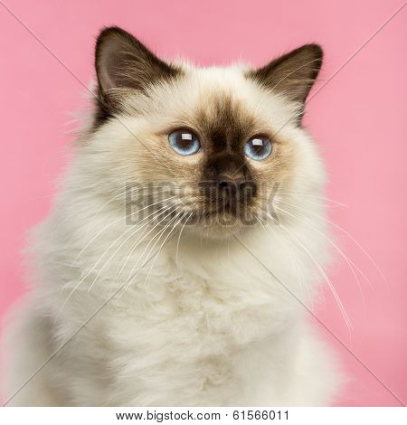 Close-up of a Birman kitten, 5 months old, on a pink background