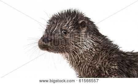 Close-up of an European otter looking at the camera, Lutra lutra, isolated on white
