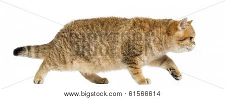 Side view of a British shorthair walking, on the prowl, isolated on white