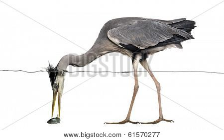 Side view of a Grey Heron catching a fish under water line, Ardea cinerea, isolated on white