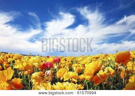 Huge fields of blossoming garden buttercups (Ranunculus asiaticus).  The wonderful spring weather, light clouds flying across a blue sky. The picture was taken Fisheye lens